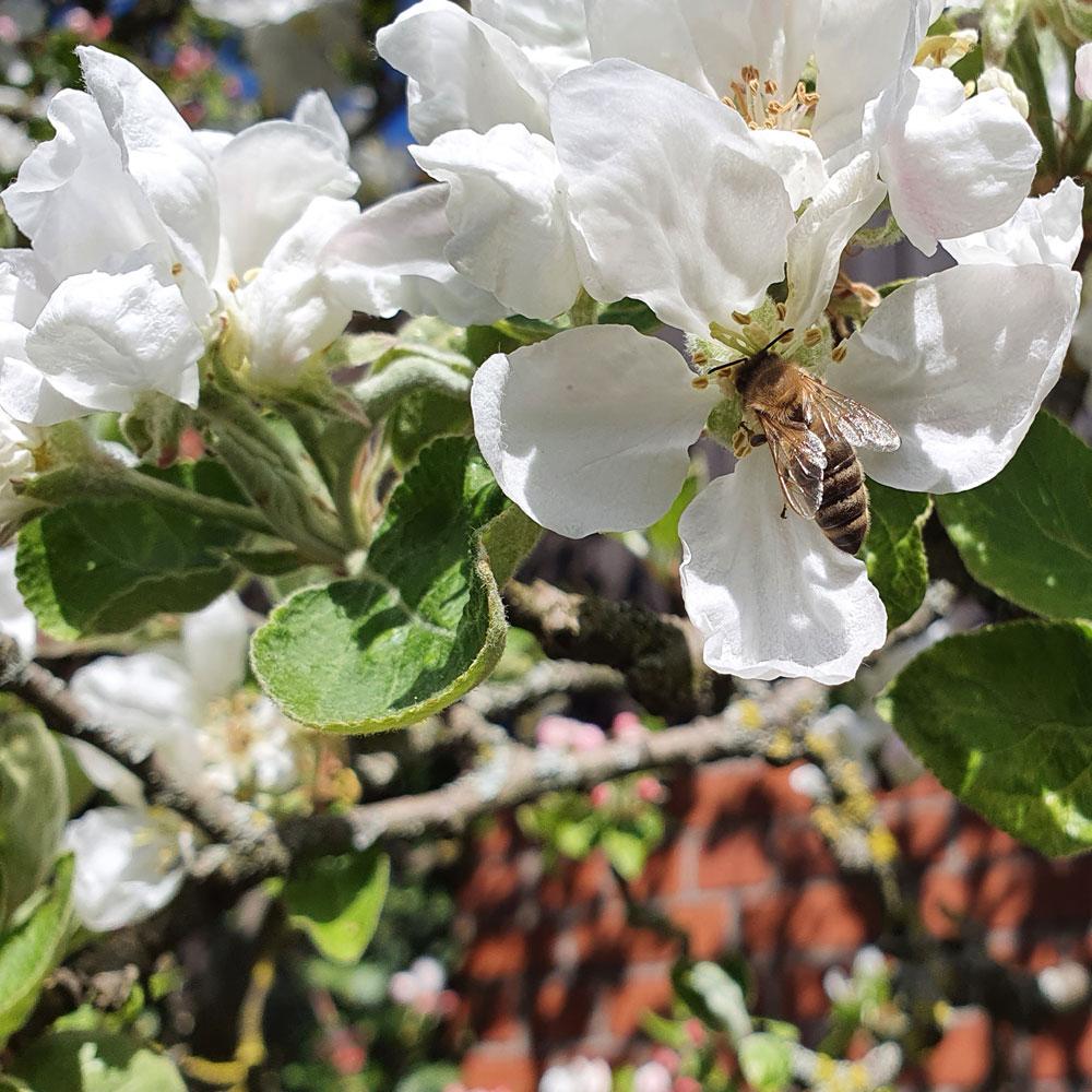 Klostergarten Apfelblüte mit Biene