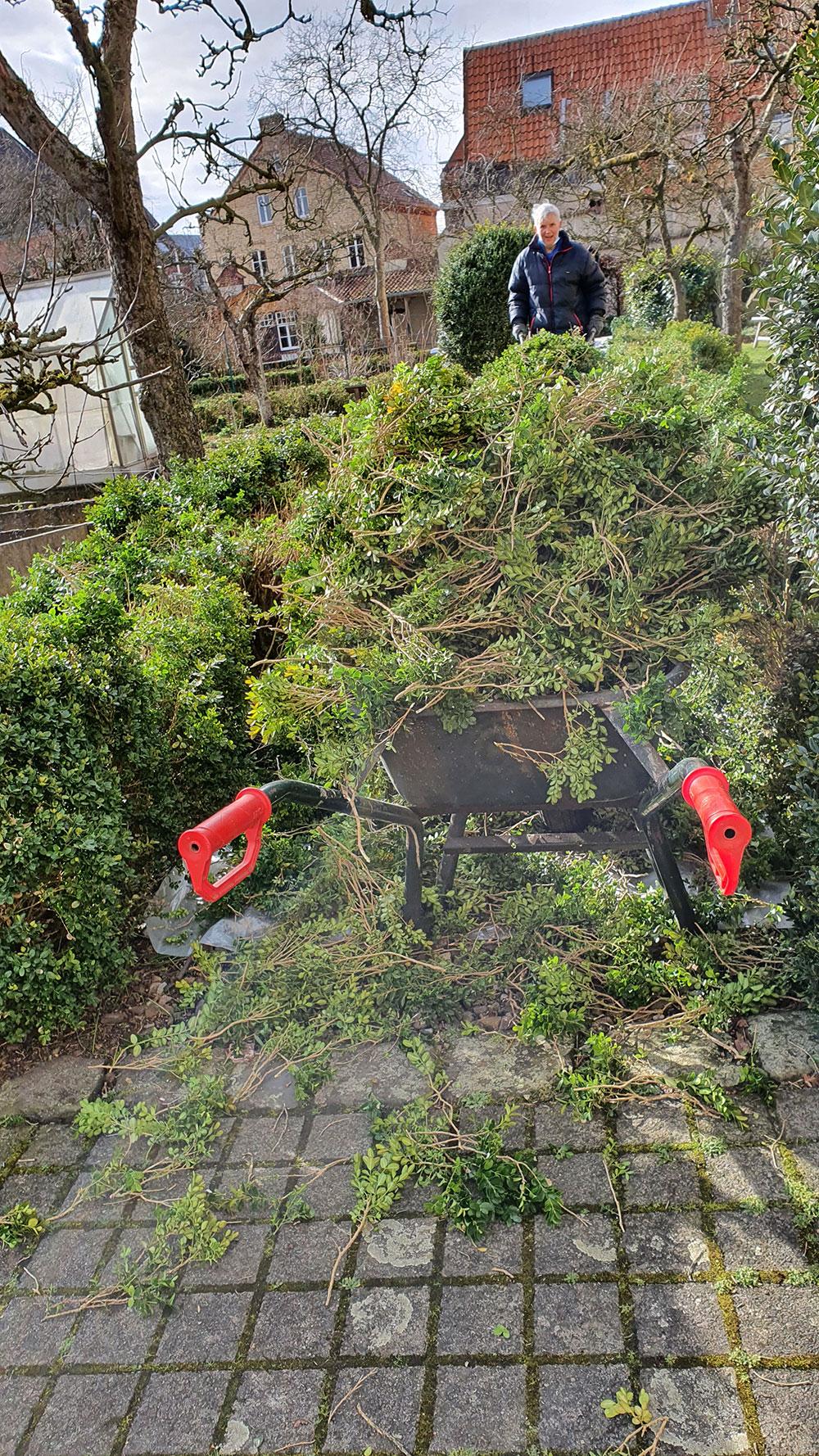 Grünschnitt von der Buchsbaumhecke, in Schubkarre aufgetürmt